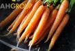 خرید عمده هویج