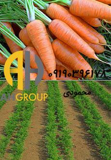 صادرات هویج دزفول